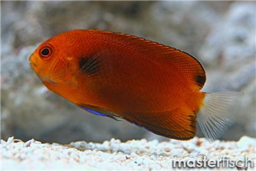 Orange angelfish