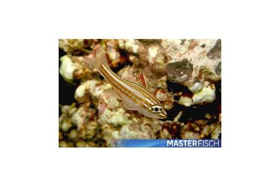 Kardinalbarsch Margaritophorus