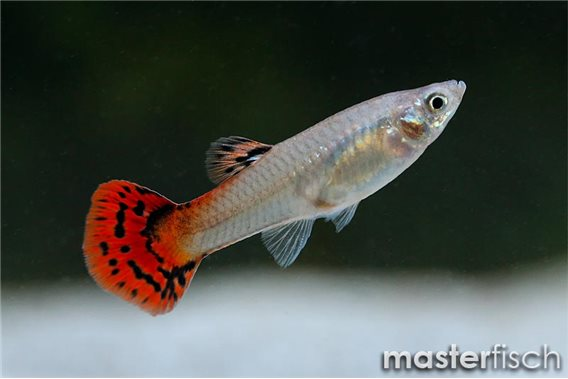 Red King Cobra Guppy