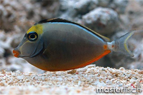 Orange-spine Unicornfish Hawaii