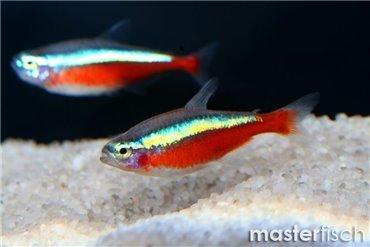 Echte salmler s sswasserfische f r die aquaristik for Neon pesci prezzo