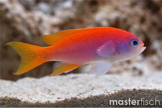 Redcheek Anthias