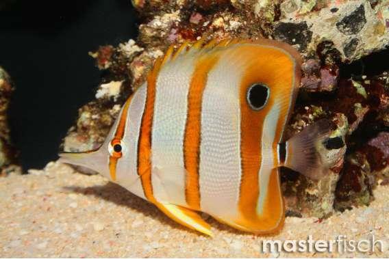 Orangebinden-Pinzettfisch