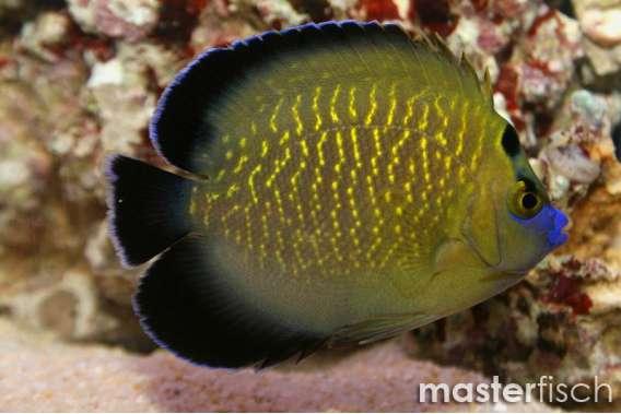 Goldtupfen - Rauchkaiserfisch
