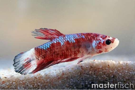 Siamesischer Kampffisch HMPK Koi fancy
