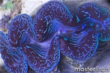 Maxima blue clam (cultured)