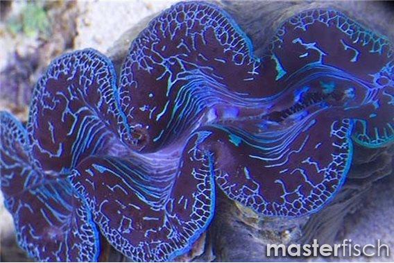 Mördermuschel Maxima Blau (Zucht)
