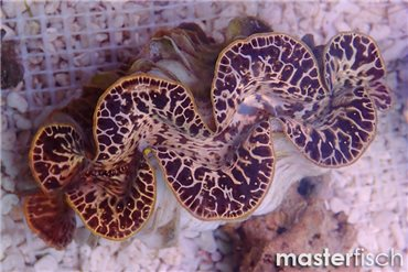 Maxima gold clam (cultured)