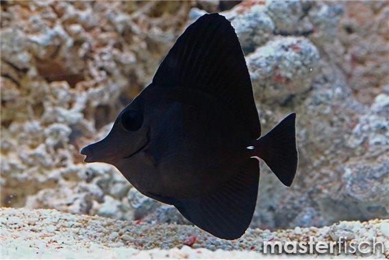 Longnose surgeonfish