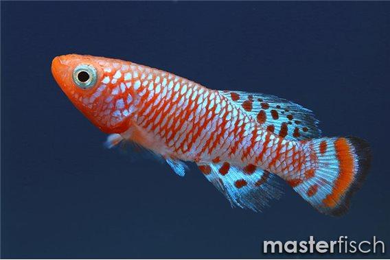 Bluefin nothobranch