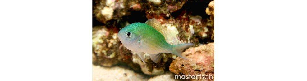 Pesce Damigella