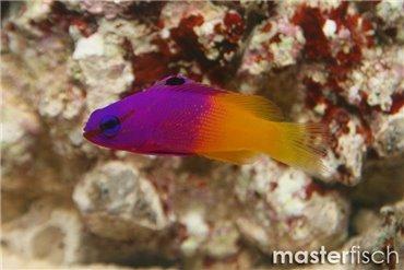 Pesce Comber
