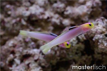 Pesce Eleotridae
