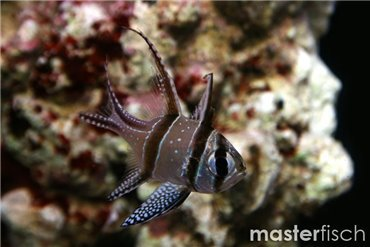 Pesce Cardinale e Spada
