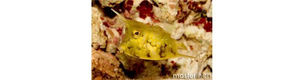 Pesce Scatola/Palla/Mucca