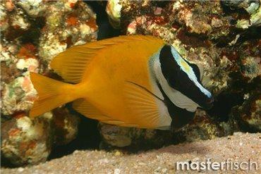 Pesce Coniglio