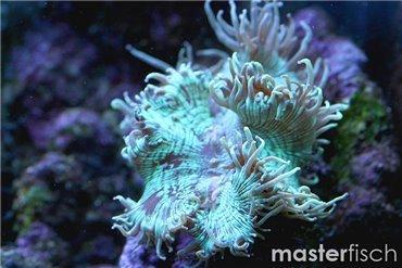 Coralli duri (! Solo EU !)