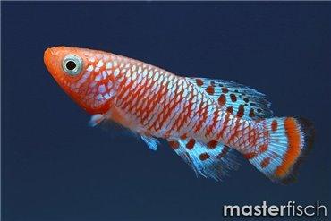 Pesce Killi