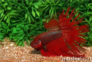 Pesce labirinto