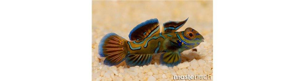 Pesci Dragonets